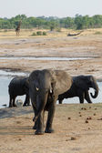 Herd of African elephants drinking at a muddy waterhole — Stock Photo