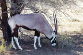 Gemsbok, Oryx gazella — Stock Photo