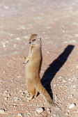 Yellow mongoose, Kalahari desert, South Africa — Stock Photo
