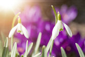 Snowdrop bloom in springtime with sunlight — Stock Photo