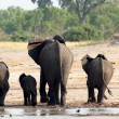 Herd of African elephants drinking at a muddy waterhole — Stock Photo #69811853