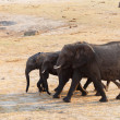 Herd of African elephants drinking at a muddy waterhole — Stock Photo #69811855