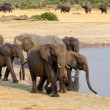Herd of African elephants drinking at a muddy waterhole — Stock Photo #69811865