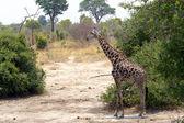 Giraffa camelopardalis in national park, Hwankee — Stock Photo