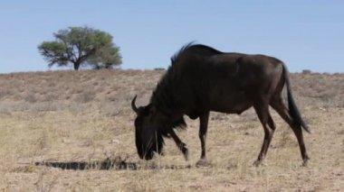 Wild Wildebeest Gnu grazing grassland, Kgalagadi Transfrontier Park, Botswana, true wildlife — Stock Video
