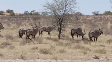 Gemsbok, Oryx gazella, Kgalagadi Transfrontier Park — Stock Video