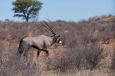 Close up portrait of Gemsbok, Oryx gazella — Stock Photo
