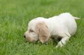 Looking English Cocker Spaniel puppy — Stockfoto