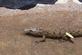 Baby of a Nile Crocodile — 图库照片
