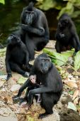 Portrait of Celebes crested macaque, Sulawesi, Indonesia — Stock Photo