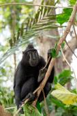 Celebes crested macaque, Sulawesi, Indonesia — Stock Photo