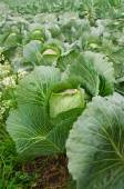 The picture of the growing cabbage — Stock Photo