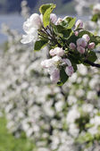 The blooming apple tree — Stock Photo