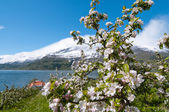 The blooming apple trees in Hardanger — Stock Photo
