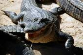 American alligator with mouth open — Stock Photo