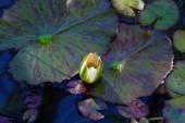 Lotus blossom morning — Stock Photo