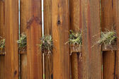 Air plants growing on wooden fence — Stock Photo