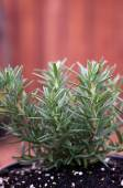 Young rosemary plant in pot — Stock Photo