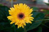 Wet gerbera flower in shade — Stock Photo