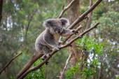 A wild Koala climbing a tree  — Stock Photo
