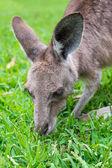 Close up of a grey Kangaroo — Stock Photo