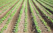 Rows of  plants in a cultivated farmers field — Stock Photo