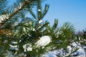 Pinheiros na neve do inverno — Foto Stock