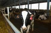 Holstein cows — Stock Photo