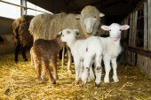 Mother sheep with lambs — Stock Photo