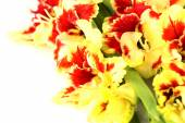 Bright colorful yellow and red gladiolus isolated — Stock Photo