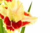 Fresh bright gladiolus isolated — Stock Photo