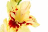 Beautiful colorful gladiolus isolated background — Stock Photo