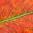 Autumn leaf macro — Stock Photo #52007871