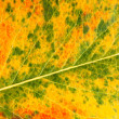 Autumn leaf macro — Stock Photo #52007905