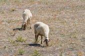 Pastoreo de ovejas. — Foto de Stock
