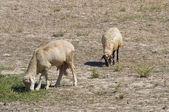 Sheep grazing. — Stock Photo