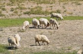 Sheep grazing. — Stock Photo