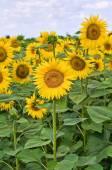 Słonecznikowe pole. — Zdjęcie stockowe