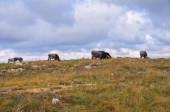 Krowy na pastwisku. — Zdjęcie stockowe