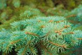 The branches of a coniferous tree — Stock Photo