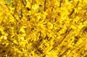 The Manchurian aralia yellow flowers — Stock Photo