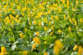 A field of yellow flowers — Stock Photo