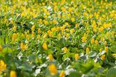 Un campo de flores amarillas — Foto de Stock