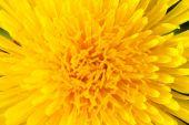 The dandelion flower macro shot — Stock Photo