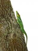 Blue and green lizard (lacerta viridis) — Foto de Stock