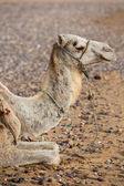 Camel on the beach in Morocco — Stock Photo