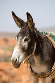 Portrait of Donkey in Morocco — Stock Photo