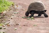 Giant Galapagos land turtle — Stock Photo