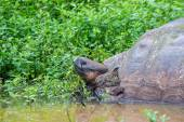 Tortue de terre géante Galapagos — Photo
