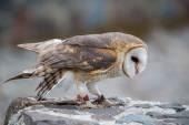 Closeup of Barn Owl — Stok fotoğraf